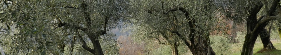 Oliveti in estate